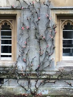 jillraggett: Plant of the Day Sunday 15 March 2015 The apple blossom like flowers of Chaenomeles speciosa 'Moerloosei' (Japanese quince) look wonderful against these grey stone walls. This deciduous shrub has been trained beautifully to 'flow' between these windows and will need pruning every year. The white and pink flowers are followed by greenish-yellow fruit, around 5cm across, which are very fragrant when ripe. Jill Raggett