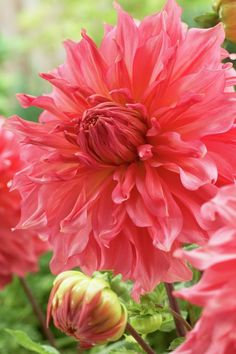 Dahlia, Islander. 2014 from American Meadows. color more muted. dinnerplate.