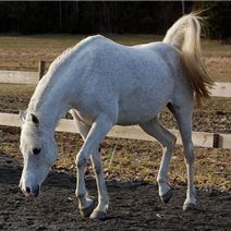 Lumiar Georgia is a Female Grey Arabian from Son . Learn more about Lumiar Georgia and other pets on Pedegru.