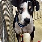 Check out PENELOPE, an adoptable Catahoula Leopard Dog on Adopt-a-Pet.com.