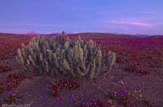 On instagram by rescutimunoz #landscape #contratahotel (o) http://ift.tt/1OMLzGm despedida. Desierto florido 2015. #canon#Chile #desierto_de_atacama #atacama #atacama_desert #flores #flora #flowers #desert #desierto_florido #desierto#naturephotography #nature #naturaleza #travelling #travel #paisajes
