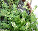 Benefits of thyme; especially when steeped in your water. Good for fighting coughs, sore throats, anti bacterial and fungal.