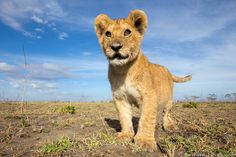 Lion cub photographed with @BeetleCam. | Photo by Will Burrard-Lucas at http://www.burrard-lucas.com/