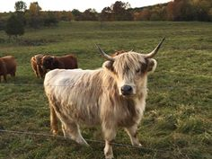 Highland Cattle, Grass Fed Beef, Scottish Highlands, Cow, Animals, Products, Animais, Animales, Animaux