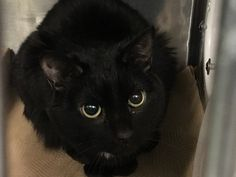 MS PRECIOUS - 16768 - - Manhattan  ***TO BE DESTROYED 12/28/17***  MS PRECIOUS WANTS TO BE SOMEONE'S ONE AND ONLY KITTY – CAN YOU HELP THIS GORGEOUS EBONY BEAUTY TONIGHT?   MS PRECIOUS is an owner surrender for what her ex-owner claims are behavior issues.  If you read her info though it seems that much of these issues seem to be exaggerated and Ms Precious will do just fine with an experienced cat purrson, and possibly as the only cat in the home. This kitty is