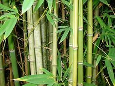 These 16 invasive species of plants are commonly sold at garden centers - beware of them and DO NOT buy them from your garden store! Bamboo Plants, Garden Plants, Starting A Vegetable Garden, Invasive Plants, Mother Plant, Backyard Paradise, Farm Gardens, Organic Gardening, Gardening Tips