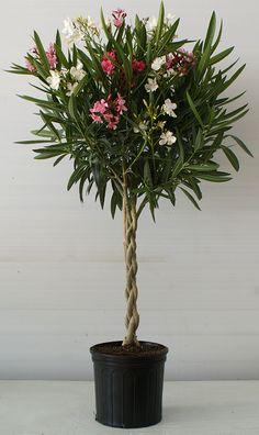 Resultado de imagen para braided nerium oleander