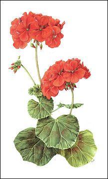Geranium, by Sue Woodfine