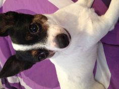 My adorable puppy. :) I say puppy... But he's fully grown!  Rat Terrier/Chihuahua mix. <3