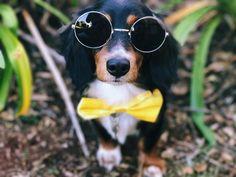 Animal Dachshund Funny Dogs Dachshund Puppies Dachshund Love
