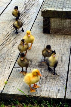 God and Country Living Duck Pictures, Baby Animals Pictures, Cute Animal Pictures, Pet Ducks, Baby Ducks, Cute Little Animals, Cute Funny Animals, Beautiful Birds, Animals Beautiful