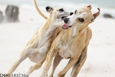 Whippets on the beach