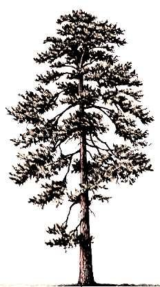 1000 images about cabin decorating ideas on pinterest for Ponderosa pine tattoo