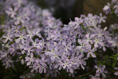 Phlox divaricata Clouds of Perfume. Grows 50cmx35cm. Perfumed. Partial shade. Flowers June and July. Fully hardy.
