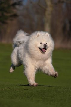 What a ball of fur would that Samoyed be to hug!