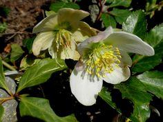 Zimné krásky čemerice: Ochráňte ich pred ochorením