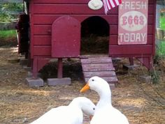 Raising ducks with chickens, tips and info