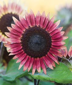 Sunflower, Ms. Mars, from Burpee! another one for the summer garden of 2014. http://www.burpee.com/flowers/sunflowers/all-sunflowers/sunflower-ms.-mars-prod003477.html