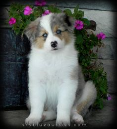 8 week old blue merle australian shepherd puppy! RORY! See more of our beautiful aussies on our website!