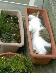 Seguro que habías oído hablar de la hierba gatera. El gato, impaciente por verla crecer, la espera alojado en la misma maceta.