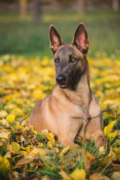 Belgian Malinois dog in yellow leave by Irantzu Arbaizagoitia on Creative Market