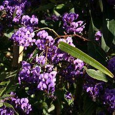 Hardenbergia violacea 'Canoelands' at San Marcos Growers Purple Lilac, Purple Flowers, Climbers For Shade, Purple Flowering Plants, Happy Wanderers, Evergreen Vines, Australian Plants, Tropical Garden, Drought Tolerant