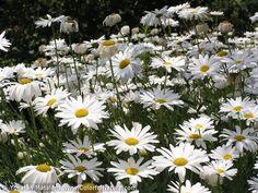 leucanthemum - Google 検索