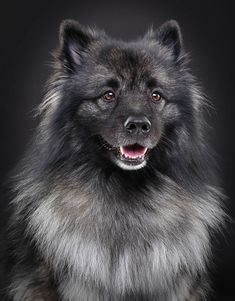When bringing a Keeshond into your home, know that you'll need to remember to brush their thick coats weekly.