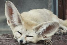 フェネックはキツネ属最小の種で、おそらくは「世界で最もキュートなキツネ」だ。動画で紹介。