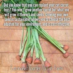 garden tips garden tip- why when you replant carrot tops carrots never grew, not supposed to, but you get carrot seeds which you can then plant to restart cycle Growing Plants, Growing Vegetables, Growing Seedlings, Growing Seeds, Root Vegetables, Growing Tomatoes, Permaculture, Organic Gardening, Gardening Tips