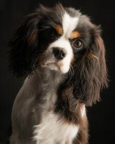 Gorgeous Cavalier Spaniel