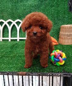 Sophie6 Poodle Puppy Miniature, Mini Poodle Puppy, Teacup Poodle Puppies, Tiny Toy Poodle, Poodle Puppies For Sale, Poodle Mix, Toy Puppies, Cute Puppies, Toy Poodles