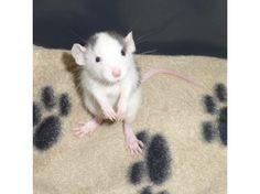 blue black roan dumbo baby rat