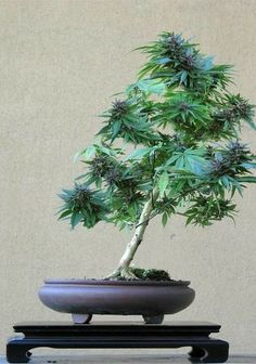 One of the more creative ways to cultivate cannabis at home is to grow a marijuana bonsai tree. Seriously, you can train a cannabis plant to grow into pretty much any shape you can imagine. Plantas Bonsai, Marijuana Plants, Cannabis Plant, Weed Plants, Pot Plants, Cannabis Oil, Cactus Plants, Bonsai Plants, Weed
