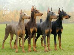 Beautiful picture showing the lovely colors of the Doberman breed.