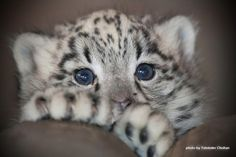 """From """"The Daily Snow Leopard"""" comes """"Nidara (""""fearless""""), the beautiful blue-eyed baby snow leopard at Dudley Zoo."""" Photo by Talvinder Chohan. Baby Snow Leopard, Leopard Cub, White Leopard, Pretty Cats, Beautiful Cats, Animals Beautiful, Cute Baby Animals, Animals And Pets, Gato Grande"""