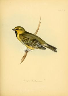 Yellow-bridled Finch      ...