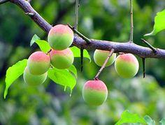 Prunus mume Tree (매실나무)