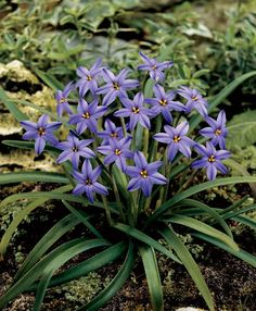 Ipheion - low ground cover