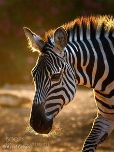 zebra (Assaf Cohen) zebra (Assaf Cohen) - Nikon - Ideas of Nikon - zebra (Assaf Cohen) zebra (Assaf Cohen) Zebra Painting, Zebra Art, Jungle Animals, Animals And Pets, Cute Animals, Nature Animals, Zebras, Zebra Kunst, Wild Animals Photography