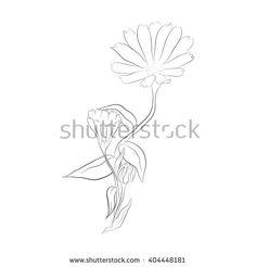 Calendula officinalis vector - stock vector