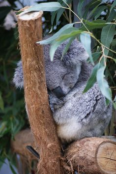 Amazing wildlife - Sleeping Baby Koala photo #koalas - New South Wales, Australia
