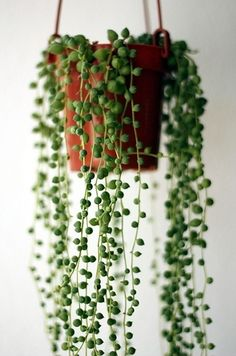 String of Pearls.  An elegant creeping succulent that sometimes flowers and sometimes doesn't. Just be sure to pot in a hanging basket so the pearls can trail down.