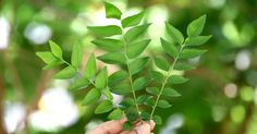 Use curry leaves for hair regularly for damage free hair. They are great for the digestive system, help prevent diarrhea and also control cholesterol.