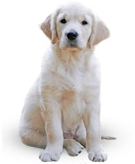 Buy Golden Retriever by Lifeonwhite on PhotoDune. Golden Retriever in front of a white background. Labrador Retrievers, Golden Retrievers, Retriever Puppy, Elephant Parade, Dog Fence, Farm Fence, Pet Safe, Dog Names, Sheltie