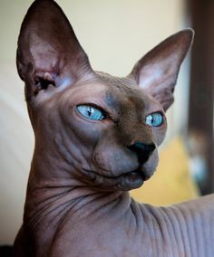 Blue Sphinx Cat...Very expensive and they get cold very easily. So keep them warm. Fragile and more emotional like a dog.