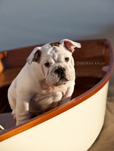 English bulldog puppy Corbit looking cute as ever! ~ Pet and Dog Photography ~ DeborahKalasPhotography.com ~ The Hamptons, NY and Palm Beach, FL