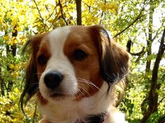 Beautiful Kooikerhondje!   <3 Wicky is a beautiful momma! <3