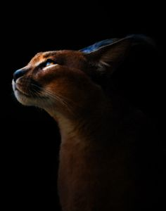 Caracal cat.  Untitled by Annafur  ., via 500px