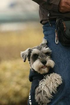 One of my favorite Schnauzer pics on pinterest.  My Bella likes to hug my leg like this too! by TRENDY N STYLES